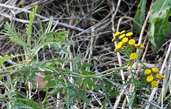 Tansy - Tanacetum vulgare (zebart 2) Tags: duffieldmilleniummeadowsk348433 tansy tanacetumvulgare