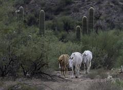 HorsesSaltRiver1-2884 (hubertstevecole) Tags: arizona bushhighway hubertstevecole mustangs nature river saltriver scenic water wildhorses wildlife tontonationalforest