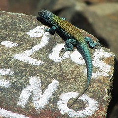 Lagartija de Cerro La Campana (Ayrton Blunt) Tags: animal reptil lagarto lagartija lizard fauna chile colours naturaleza nature nicecolors outdoor liolaemus