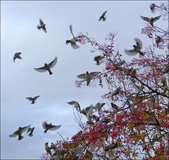 Waxwing Irruption (McRusty) Tags: waxwing waxwings irruption occasional migration inverness city highland scotland beautiful natural outdoor wild bird birds colourful berries springwatch winterwarch december 2016