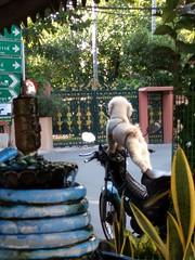 Biker dude dog #3 - Bangkok, Thailand (ashabot) Tags: dog dogs bangkok thailand motorcycles fun