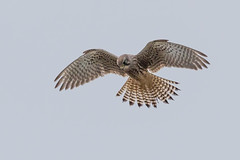 Kestrel (PIX SW) Tags: bird kestrel
