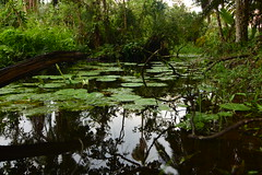 Reflection in the swamp (supersky77) Tags: swamp wetland bigodi kibale reflection riflesso palude nymphaea papyrus papiro uganda africa