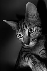Portrait de Mina (bruno2nis) Tags: animal animalfamilier animalia blackandwhite cat chat felid felidae francefra mammal mammalia mina monochrome noiretblanc pet