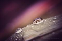 Fuji x-t10 (Jasrmcf) Tags: fuji fujinon fujifilm fujixt10 fujimacro macrotube detail depthoffield dof bokeh bokehlicious bokehgraph ngc raindrops rain water reflection dreamy colourful garden pink blur smooth pentacon 30mm vintage
