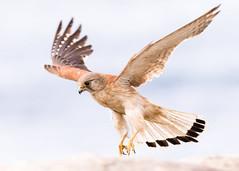 Kestrel III (M Hooper) Tags: kestrel nankeenkestrel birdinflight raptor birdofprey