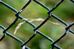 Hanging on (vinnie saxon) Tags: fence plant leaf nature naturallight autumn bokehlicious bokeh creative atmosphere nikoniste nikon d600 macro closeup happyfencefriday hff