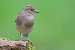 Pinson des arbres (Jean-Phi.) Tags: commonchaffinch fringillacoelebs fringillids passriformes pinsondesarbres bird oiseau