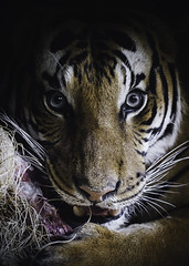 The Tiger's Share (Paul E.M.) Tags: tiger malayan endangered sdzoo stripes meat carnivore teeth