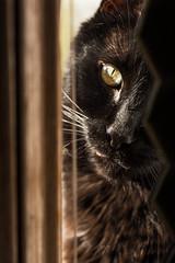 Hobbies Include: (spencer_r_allen) Tags: baxter feline housecat nikon d7100 tokina 100mm sunlight window cat basking