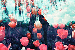 Lavender Love and Tulip Hearts (thomas_anthony__) Tags: canon canona1 a1 analog analogue film 35mm double exposure doubleexposure multipleexposure multiple fantasy love tulips park nature silhouette silhouettes couple kiss kissing lomochrome lomo lomochromepurple lomography sky garden willow tree