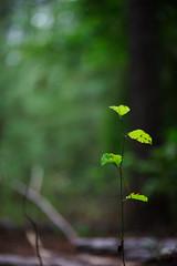 walk about Harris Lake 28 (furrycelt) Tags: harrislake newhillnc nikon85mmf14afd nikon85mmf14 northcarolina shearonharrisreservoir jianwilson photographersoftumblr 85mm d600 nikon september forest furrycelt lensblr natural nature trees woods