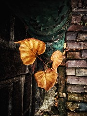 Drain (J.C. Moyer) Tags: stones street streetphotography urbanphotography alley leaves urbanflora urbannature rustic colour color drain drainpipe wall bricks brickwall