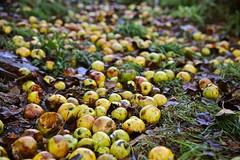 Windfall (Zenas M) Tags: apples windfall garden foodforthrushes autumn fall winter