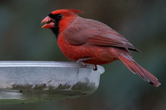 cardinal_8426 (JGKphotos) Tags: d7100 johnkunze bird birds cardinal cardinals