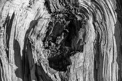 untitled 2073 (robwiddowson) Tags: port meadow oxford poplar trees wood tree abstract broken knarly robertwiddowson photo photography photograph image picture blackandwhite