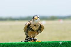 (tincho.uy) Tags: bird uruguay fauna