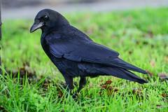 John Snow (Trevor Ducken) Tags: crow bird wildlife seattle washington nikond600 december 2016 winter telephoto primelens