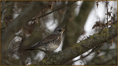 Fieldfare 2016 (mistagain1 Thanks for the comments and Faves) Tags: wildlife wildbird britishbird birdofbritain winter 2016 somerset gb uk england southwestengland nikon d750 nikkor200500f56 fieldfare