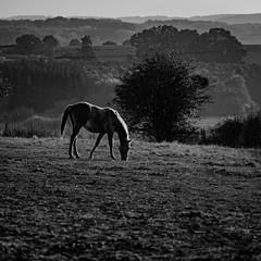 2016 10 29 - Sunset-13 (OliGlo1979) Tags: fuji luxembourg xt2 xf50140 landscape sunset horse silhouette