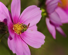 Color me happy... (Kreative Capture) Tags: pink cosmos green bee insect flower wildflower plant stonewall texas nikkor nikon d7100 outdoor blossom macro