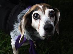 lulu (mevrain) Tags: beagle dog foster