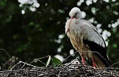 """21aaoll-ooievaar.kuiken.nest-26-5-16-b'derij-parkje-k.vliet-leiden-(n.D700-t.150-600vc) (""""HansFfloraFauna"""") Tags: bird chicken stork nd700 nest park bokeh"""