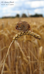 Harvest Mouse (Micromys minutus) (wildlife_photo) Tags: micromys minutus garry smith wildlife photo flickr wild staffordshire nature cannon eos daytime summer harvest mice mouse small rodent native hedgerows