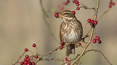 Redwing (KHR Images) Tags: redwing turdusiliacus chatsandthrushes wild bird feeding berries winter migrant nature wildlife wickenfen nationaltrust fens fenland eastanglia cambridgeshire nikon d7100 kevinrobson khrimages