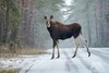 Moose X-ing (fascinationwildlife) Tags: animal mammal moose elch elg female wild wildlife winter snow nature natur national park poland polen eastern europe forest tree road shower biebrza