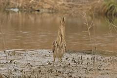 Butor étoilé/Eurasian Bittern (safrounet) Tags: butorétoilé butor étoilé eurasianbittern bittern eurasian reeds roseaux étang pond ean water plage beach