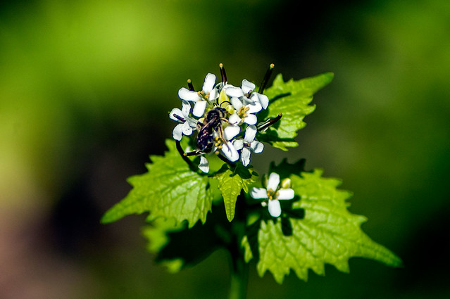 Versailles State Park - Invasive garlic mustard - April 26, 2014
