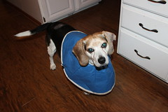 Flapjack Update - May 29, 2014 (cseeman) Tags: beagle dogs cone vet michigan stitches resting saline recuperating dogattack dogbite flapjack injureddog injuredpet dogconecollar flappy05292014 flappyattack