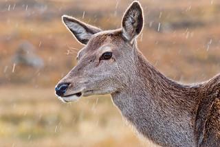 Red Deer Portrait ~ Explored