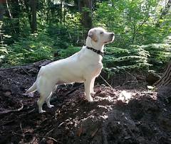 Gracie in morning woods (walneylad) Tags: dog pet cute puppy spring gracie lab labrador canine labradorretriever