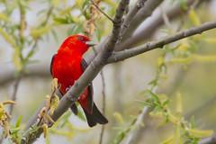 _53F9411 Scarlet Tanager (~ Michaela Sagatova ~) Tags: red ontario male dundas scarlettanager songbird pirangaolivacea dvca michaelafotheringham michaelasagatova