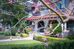Silk Floss Tree (Jett Loe) Tags: tree losangeles blooming silkfloss vanburenplace