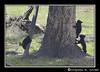 Three Black Bear Cubs (grizzman86) Tags: bear yellowstonenationalpark blackbear towerfalls blackbearcub