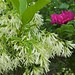 Close-up of Fringe Tree in Bloom