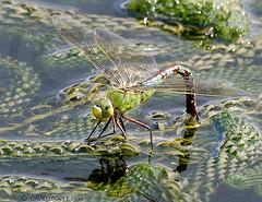 Female Emperor Dragonfly ovipositing ( egg laying). (Crazybittern1) Tags: dragonflies insects emperor heyshamnaturereserve sigma70300mmmacro lancashirewildlifetrust nikond7000