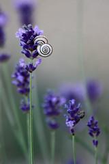 Divine idylle... (NUMERIK33) Tags: fleurs explore lavande escargot numerik33