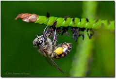 Honey Bee_3 (framesandfocus) Tags: flower macro bangalore honey nectar lalbagh tamron90mmmacro honeybeeatwork nikond3100 venkatuhegde framesnfocus venkatramanhegde