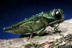 Emerald Ash Borer -- Known as EAB, this tiny insect has been enormously destructive in states where it has been found.  CREDIT MANDATORY -- Image by David Cappeart, Michigan State University. Image via Bugwood.org.