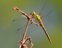 Dragonfly - Common Darter (tdcphotos) Tags: insect wings stem legs dragonfly head flight thorax