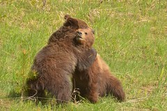 It's Going To Be All Right (Hello, It's Me (off few days)) Tags: bear brown canada danger cub fight play britishcolumbia wrestling wildlife canadian rockymountains cubs grizzly predator wrestle omnivore tumblerridge