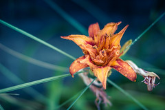 Flower (Tim Bow Photography) Tags: uk light orange flower color colour green nature wet lines wales garden dark droplets natural image bokeh britain colourful shape processed moist 1450mm timbowphotography