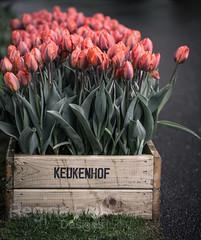 Tulips at Keukenhof (Regina Fell Designs) Tags: pink flowers orange plants holland netherlands canon tulips thenetherlands 100mm tulip tulipa keukenhof tulp lisse markiii lilioideae