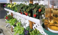 Gutter Garden - With auto-watering (Bill.Mc) Tags: strawberries guttergarden guttergardening