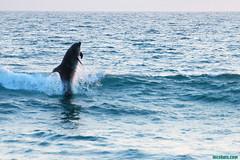JumpingDolphins101 (mcshots) Tags: ocean california sea usa nature water animals jumping surf waves wildlife stock sealife surfing socal dolphins summertime breakers mcshots southbay mammals swells flipper fins marinemammals losangelescounty elporto