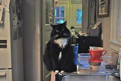 and I helped (rootcrop54) Tags: batman male tuxedo longhair furry cat polydactyl extratoed hemingway color light tepco westerntraveler mug 고양이 macska kedi 猫 kočka kissa γάτα köttur kucing gatto kaķis katė katt katzen kot pisică кошка mačka maček gorbe kitteh cc1000 cc6000